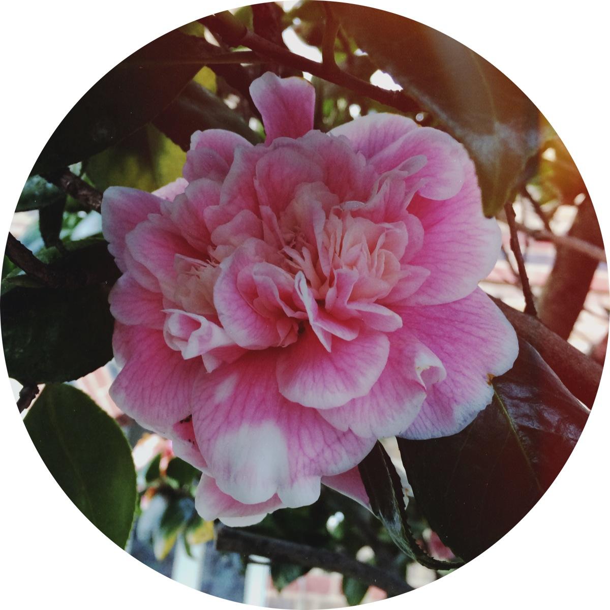 Jennifer Michie Camellia