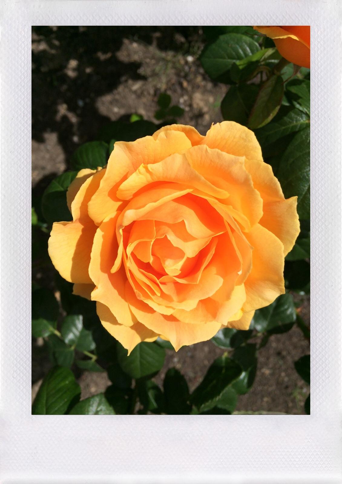 Jennifer Michie Roses 2