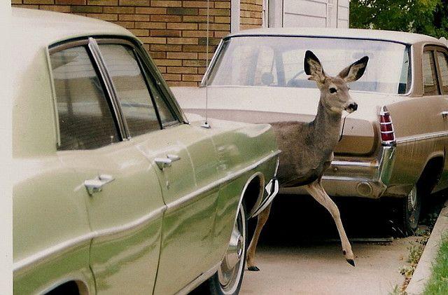 Deer 1963