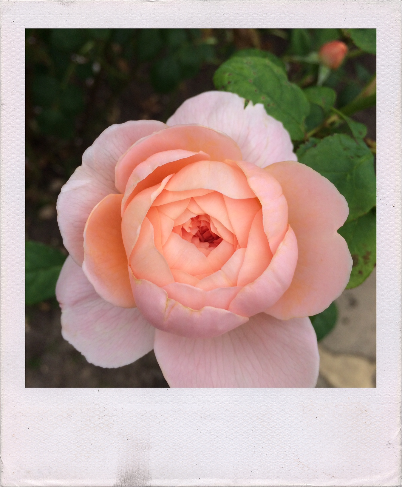 Jennifer Michie Queen of Sweden Rose